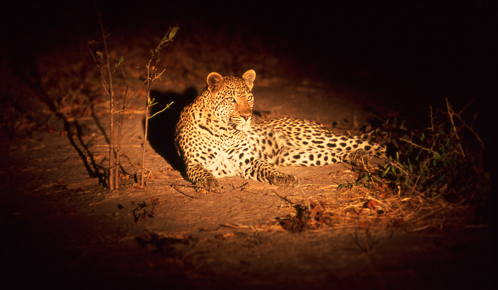 Leopard Spotlight by Lloyd Robers